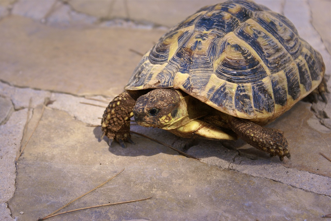 Elever une tortue d'Hermann